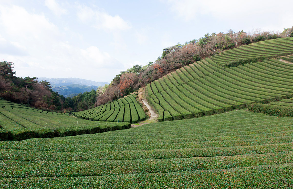 A Historical Walk through 800 Years of Japanese Tea
